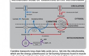 carnitine-atp