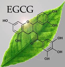 extrait de thé vert et EGCG