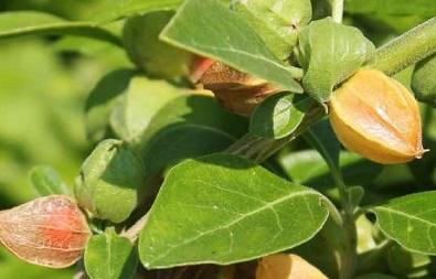 plante Ashwagandha