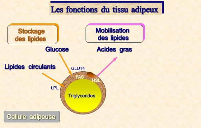 Glucose convertit en graisse dans la cellule adipeuse