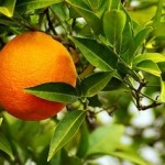 orange-amere