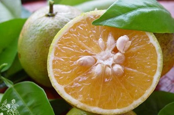Le bigaradier d'oranger amer : un ingrédient de taille dans le produit minceur Ketoslim gélules