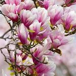 le-magnolia-dans-dr-farin