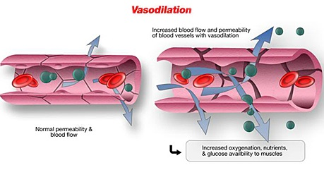 La forskoline brûle-graisse permet la vasodilatation