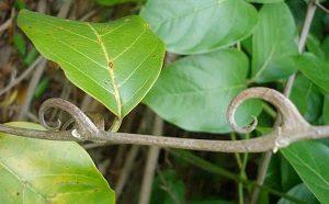 La liane du Pérou : un des composants du Trenorol